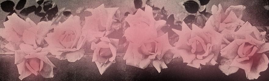 rose-blush.jpg