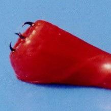 13565_bloodworm1.jpg