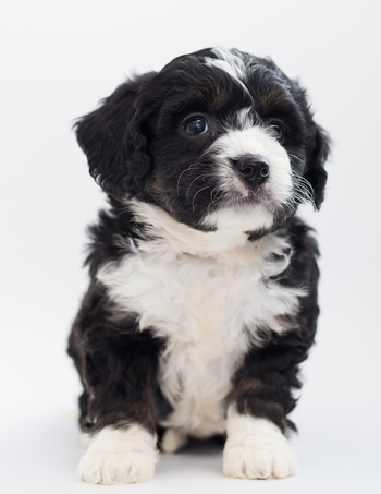 PuppyCC.jpg
