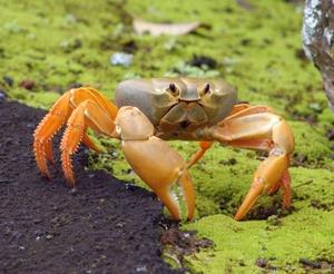 crab_th.jpg