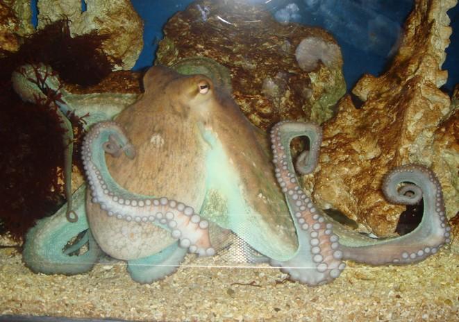 Octopus-s.jpg