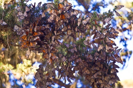 Monarch-butterflies1.jpeg